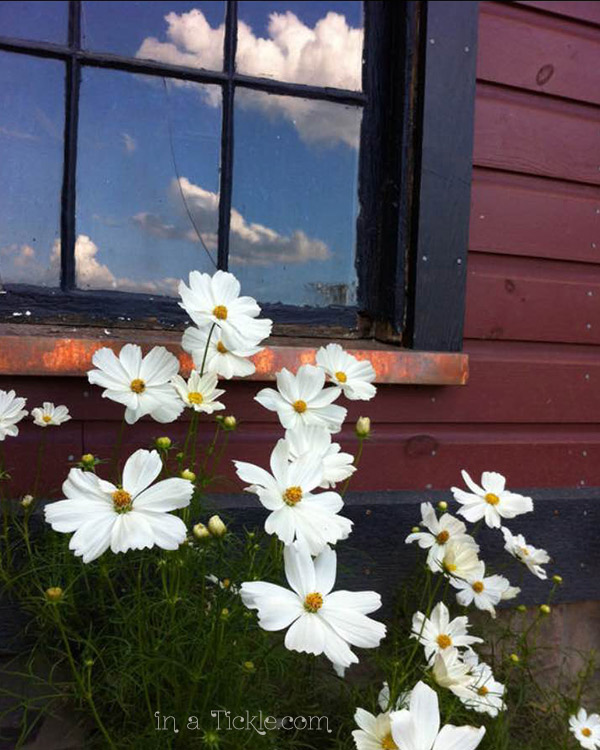 Daisies-with-Window